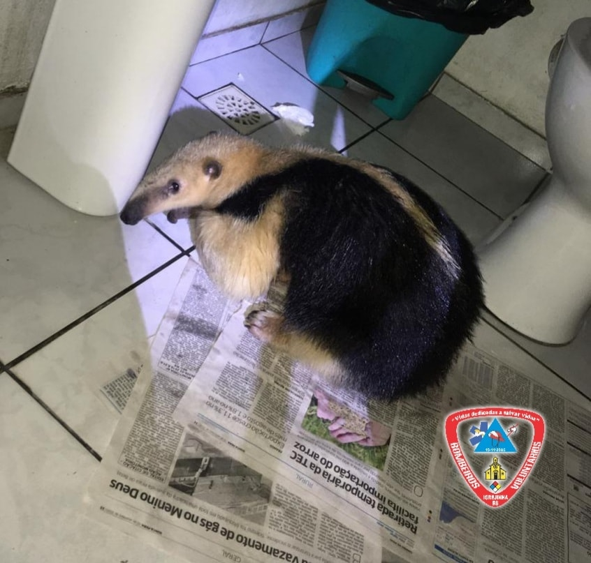 Tamanduá foi encontrado no banheiro de um posto de gasolina | Foto: Corpo de Bombeiros Voluntários de Igrejinha