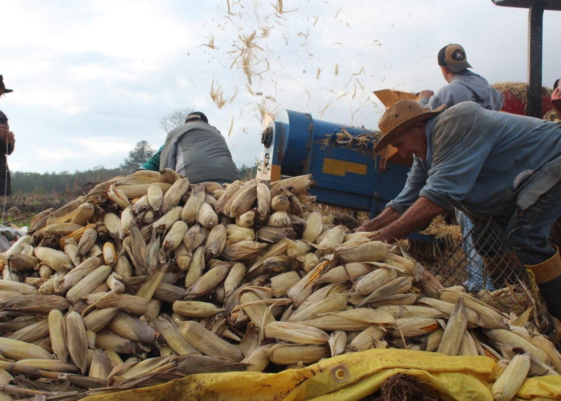 Agricultores contando com o apoio de maquinário para bater milho Foto: Lilian Moraes